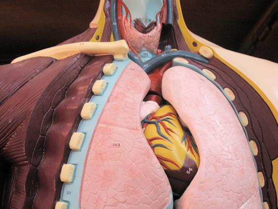 1964 Nystrom Anatomy Model